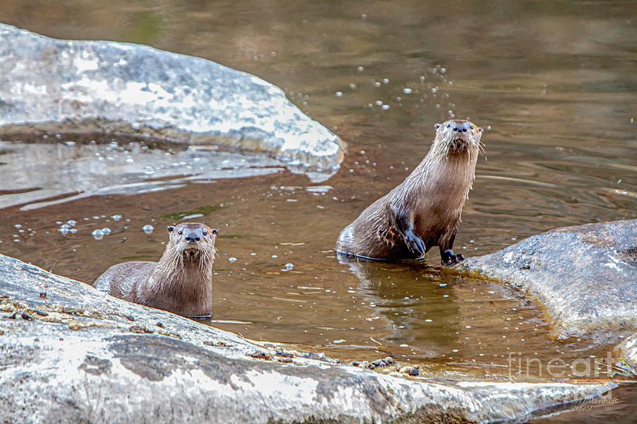 Otter, Smith Rock, Oregon, by David Millenheft