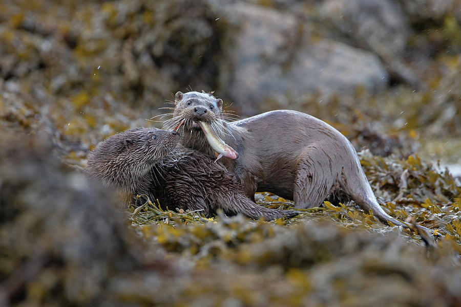 Otters With Prey by Peter Walkden