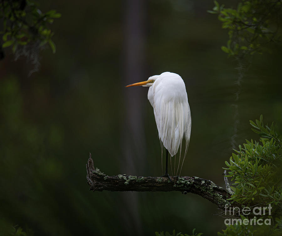 Out On A Limb - Great White Heron Photograph