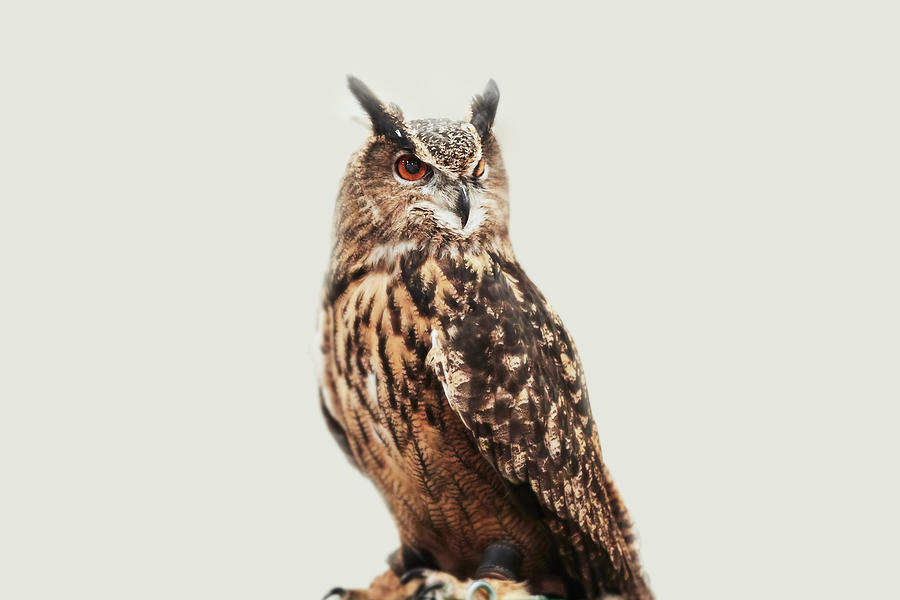 Owl against white background Photograph by Heshphoto
