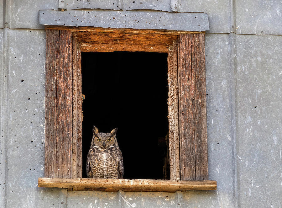 Owl Stare by Harold Carlson