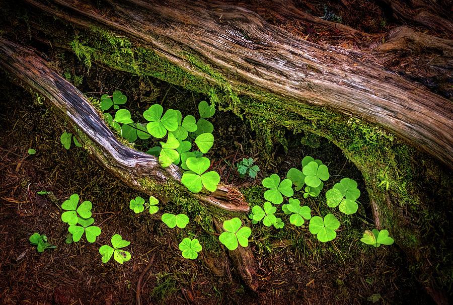 Oxalis in a Pacific Northwest Rainforest by Carolyn Derstine
