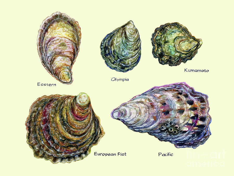 Oyster Types Cream Background Photograph