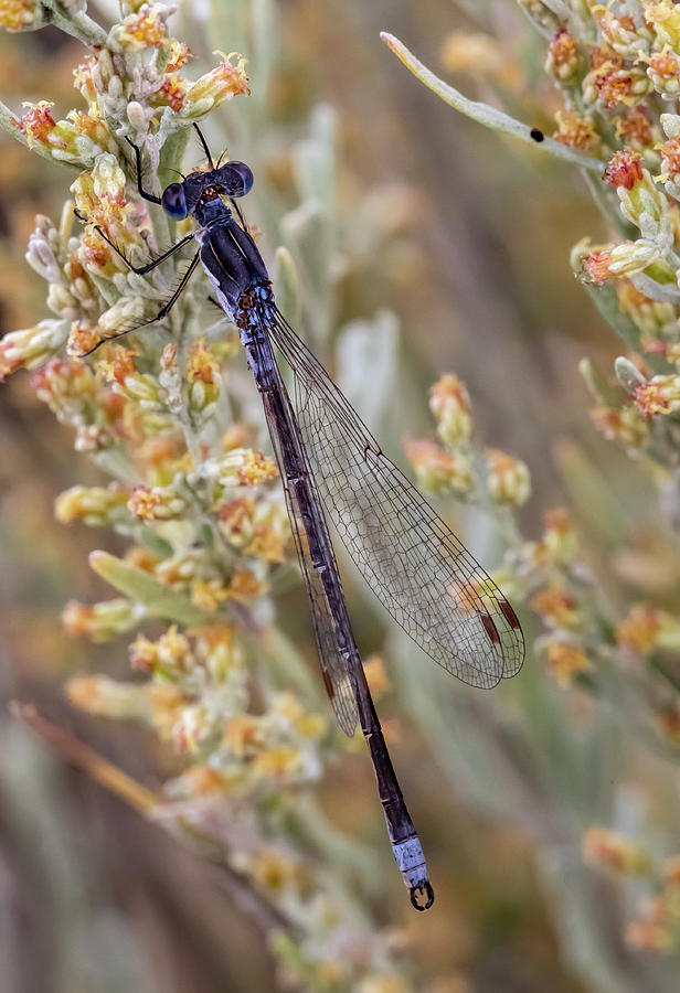 Pacific Forktail Damselfly by Michael Chatt