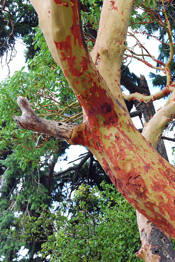 Pacific Madrone Tree. Olympic National Park Photograph