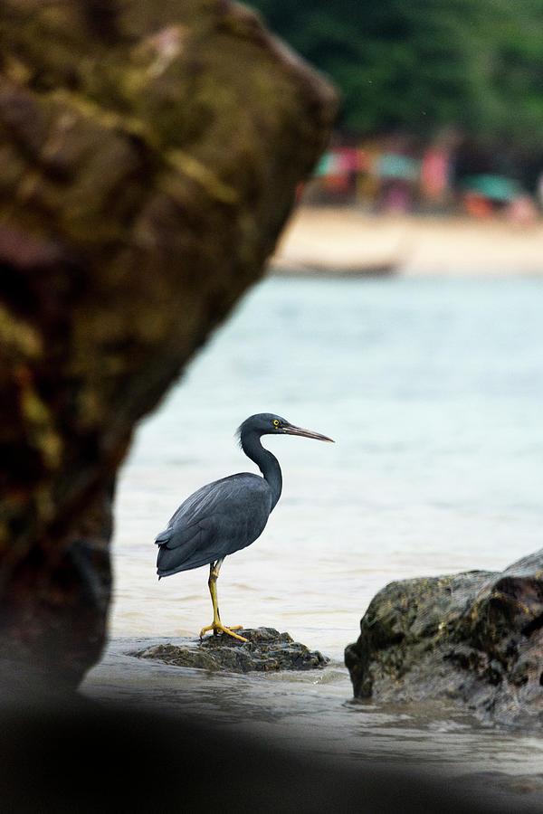 Egret Photograph - Pacific Reef Egret by Laura J P Richardson