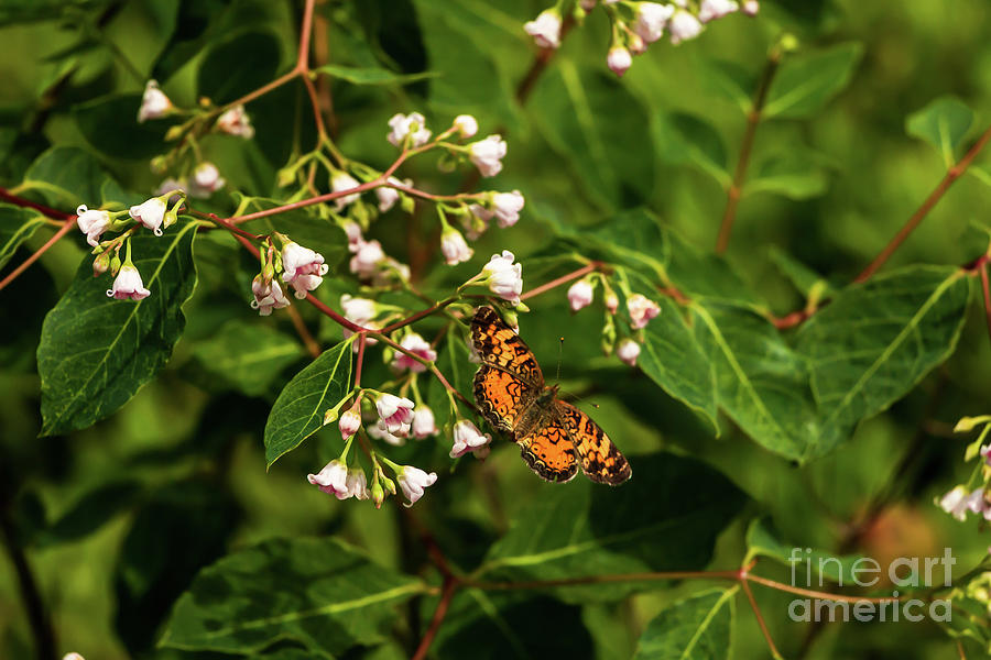 Painted Lady Butterfly Photograph