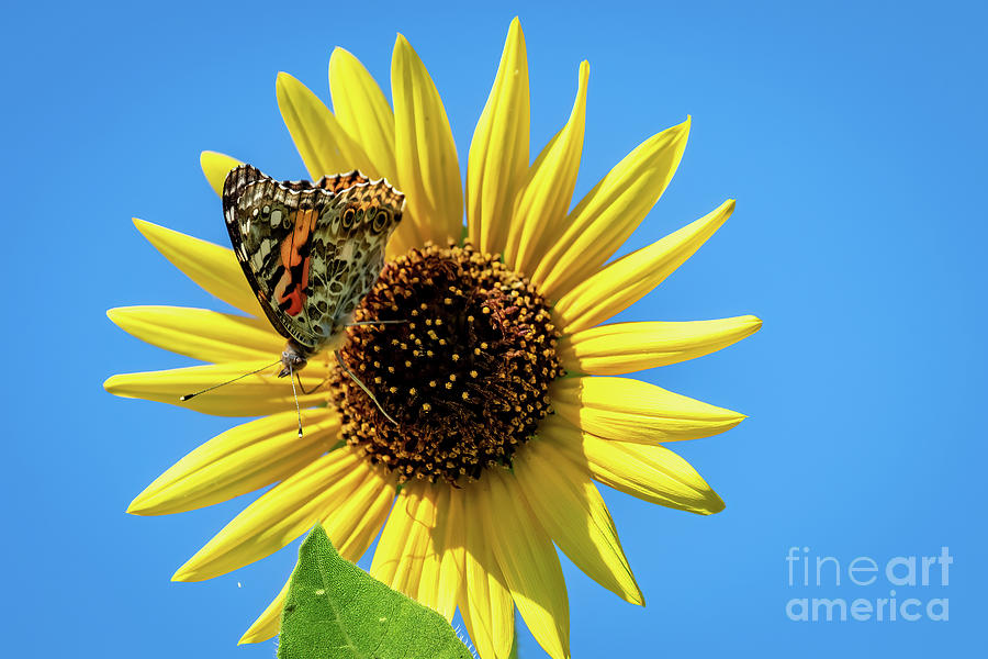 Painted Lady Butterfly Perched On A Yellow Sunf Photograph
