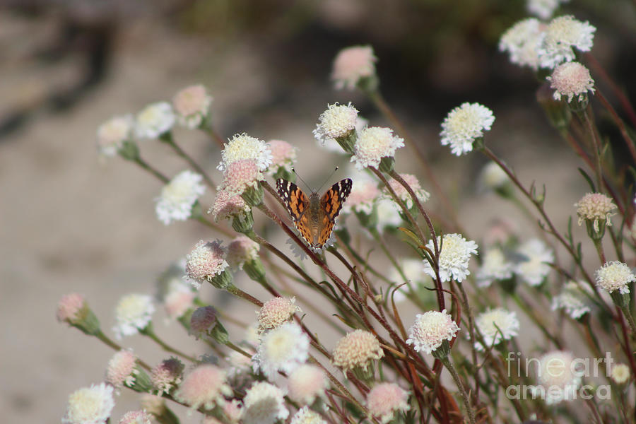 Wedding Photograph - Painted Lady on Wild Pincushion Flower in Coachella Valley Wildlife Preserve by Colleen Cornelius