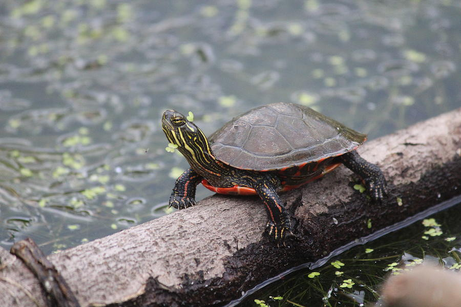 Painted Turtle Photograph - Painted Turtle by Callen Harty