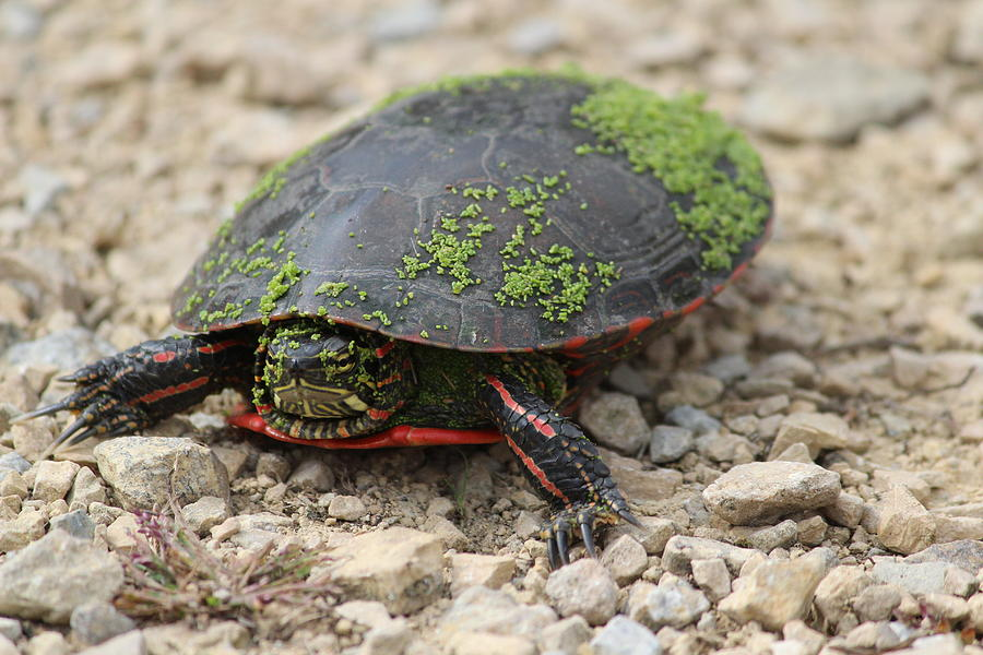 Painted Turtle Photograph - Painted Turtle Out Of Water by Callen Harty