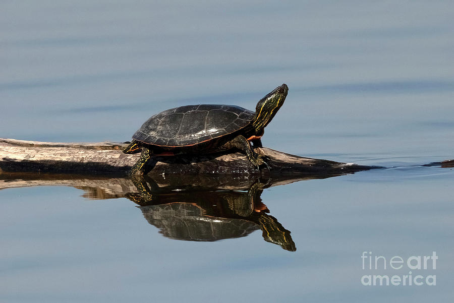 Painted Turtle Reflections Photograph