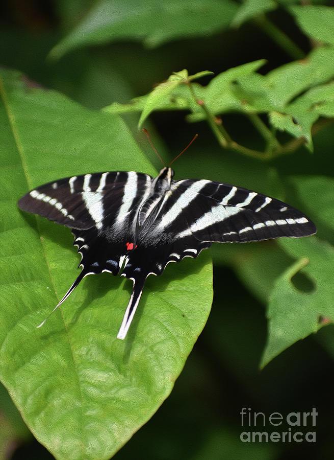 Painted Zebra Swallowtail Photograph