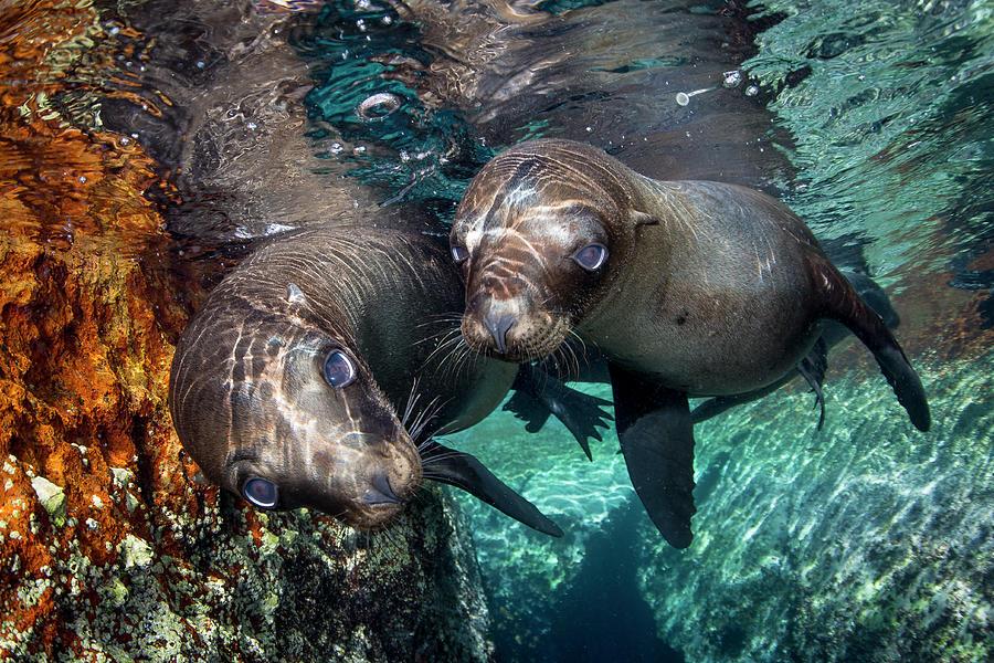 Pair Of California Sea Lions Photograph