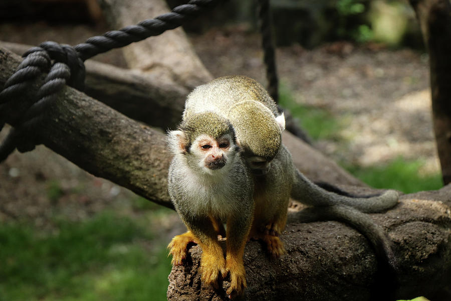 Pair Of Common Squirrel Monkey - Love Moment. Mating Photograph