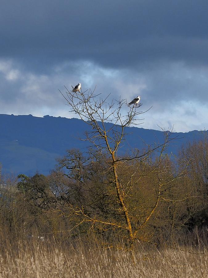 Pair of  Kites by Richard Thomas