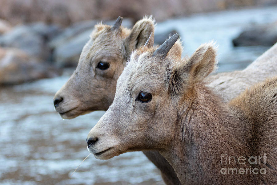 Pair of Young Bighorns by the Platte by Steve Krull