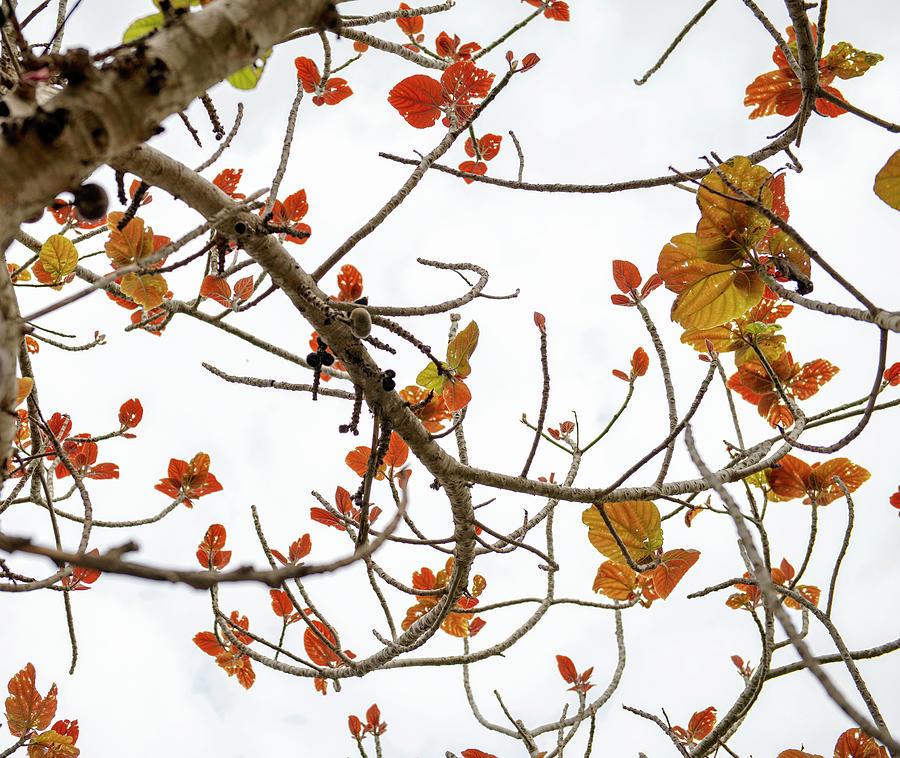 Pakistani Ficus Tree In Blossom 1 Photograph