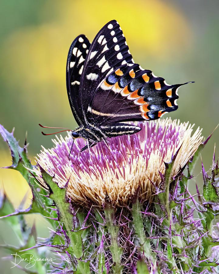Palamedes Swallowtail 6659 Photograph