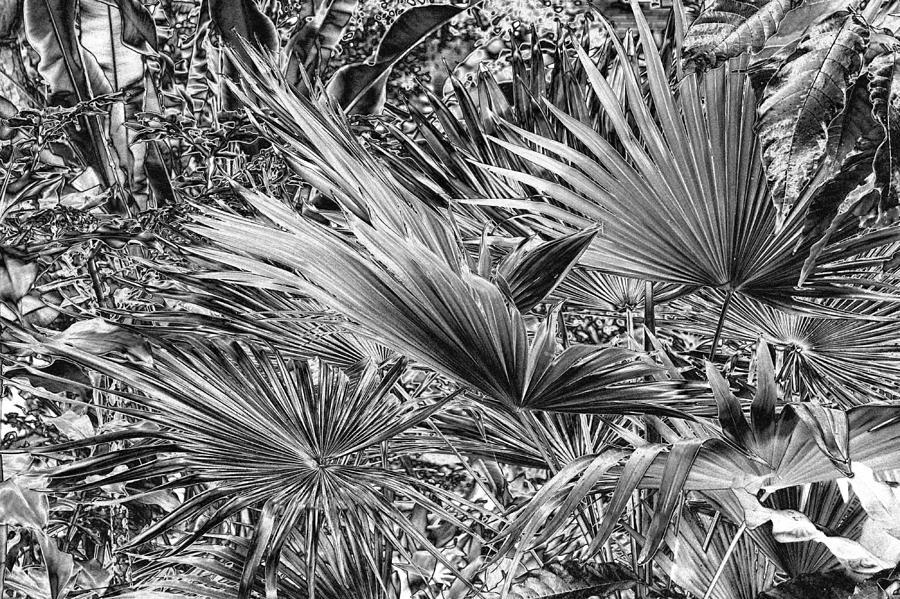 Palm Leaf Photograph - Palm Jungle by Tom Kelly
