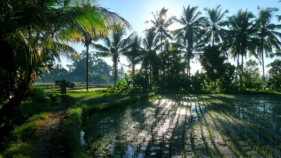 Palm Trees By Rice Field Against Sky Photograph by Joseph Jeanmart / EyeEm