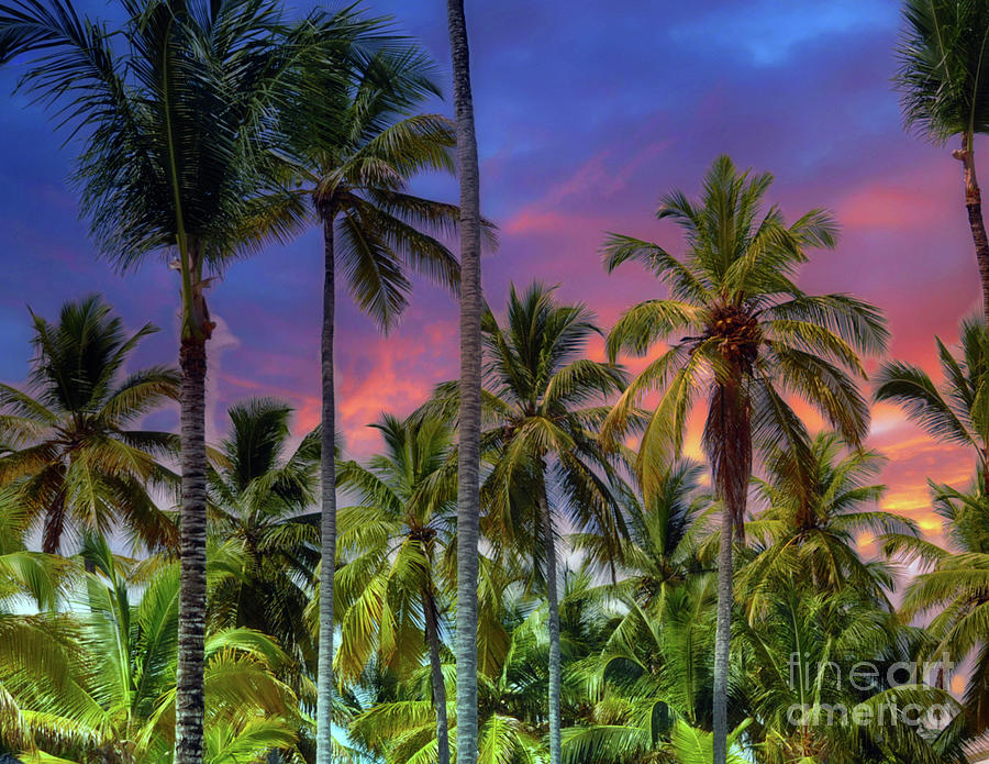 Palm Trees   Dominican Republic Photograph