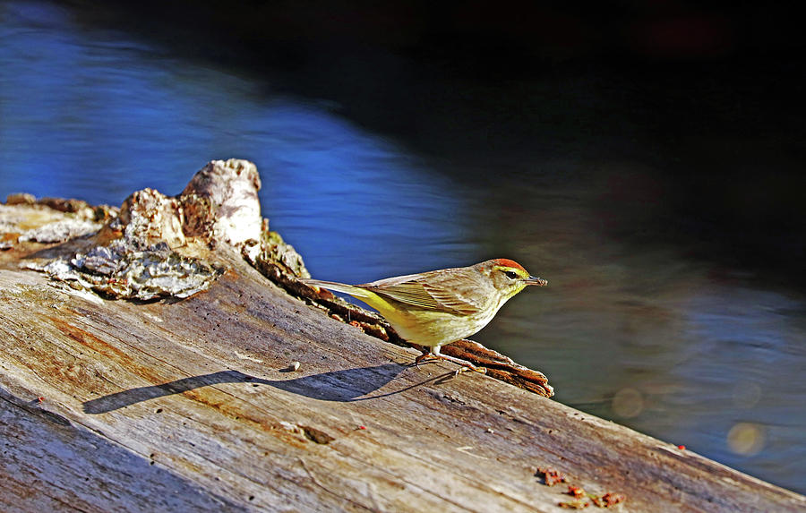 Palm Warbler With Breakfast Photograph