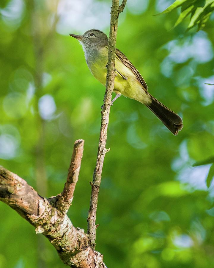 Panamanian Flycatcher Hacienda El Triunfo Honda Tolima Colombia by Adam Rainoff