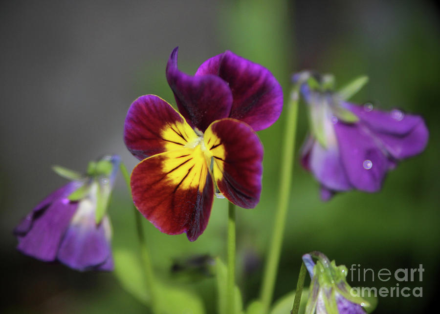 Pansy 2 Photograph by Ross Coleman