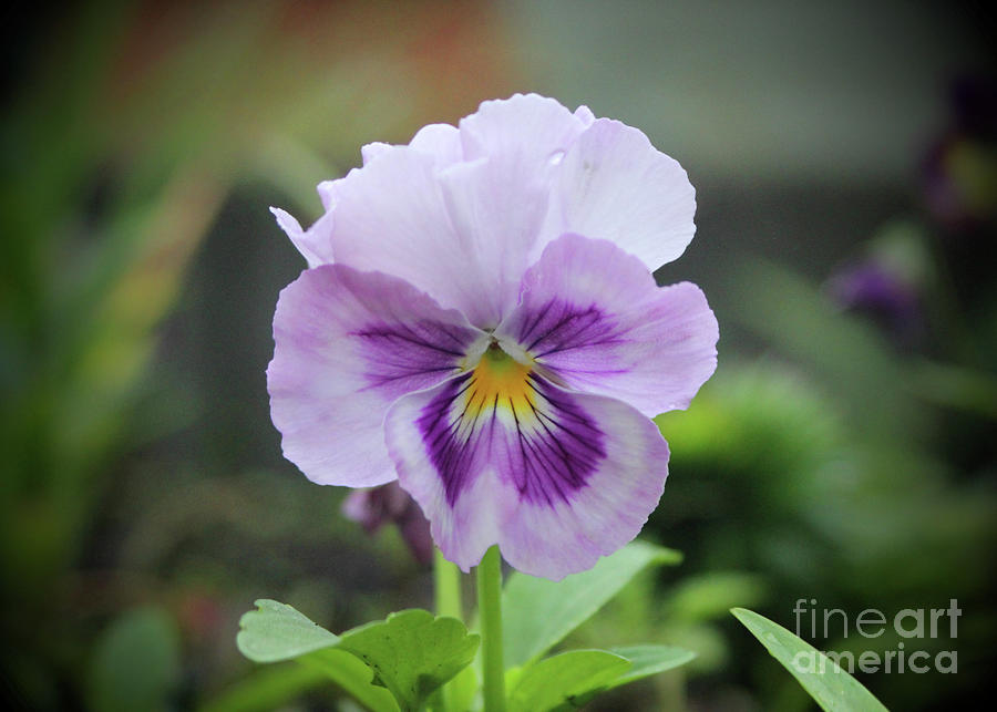 Pansy 3 Photograph by Ross Coleman