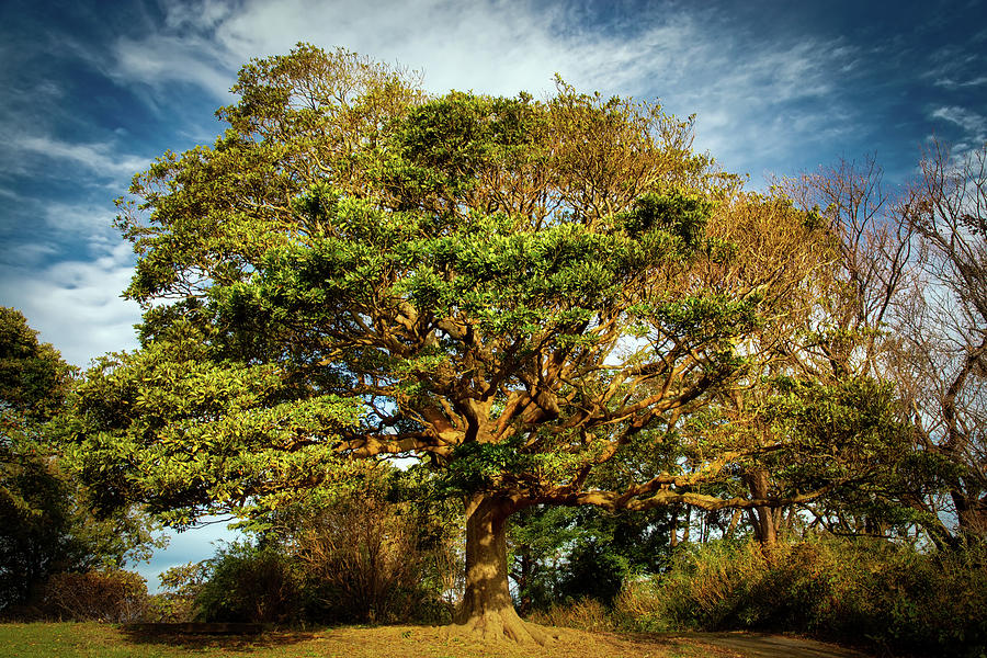 Park Tree by William Chizek