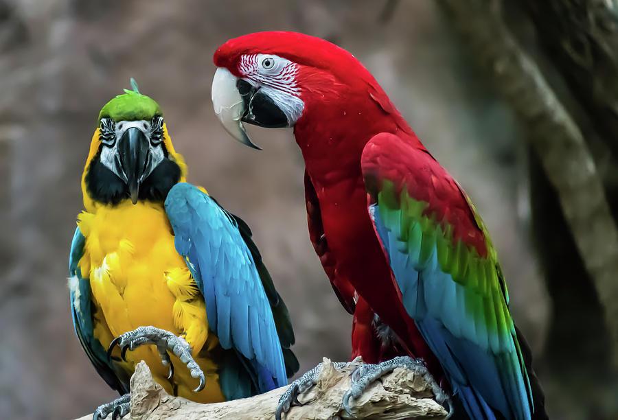 Parrots 1 Photograph