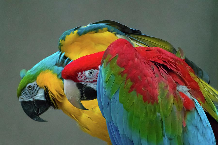 Parrots In Profile Photograph