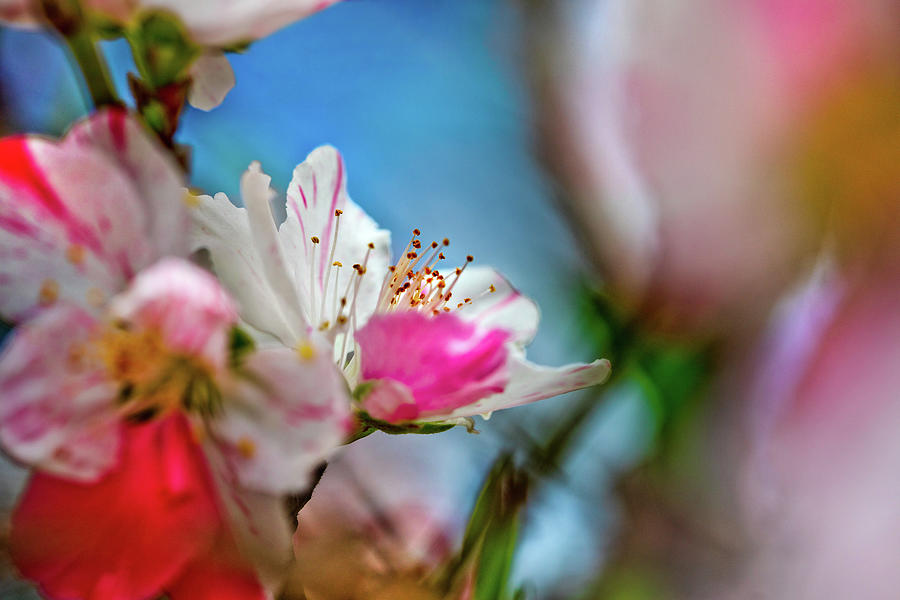 Pink Photograph - Passions of Spring by Az Jackson