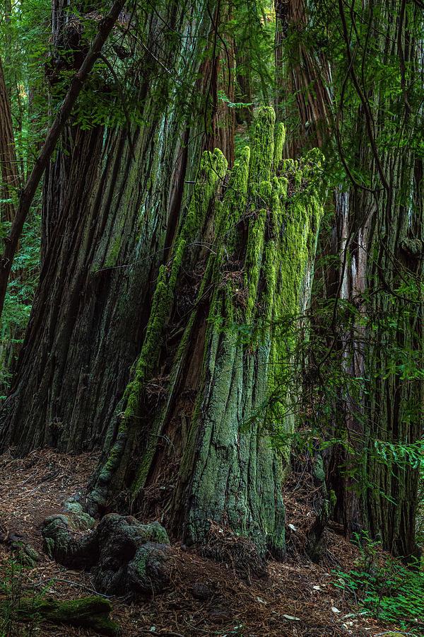 Past Prime - Muir Woods Photograph
