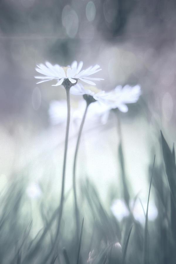 Pastel Daisies Photograph