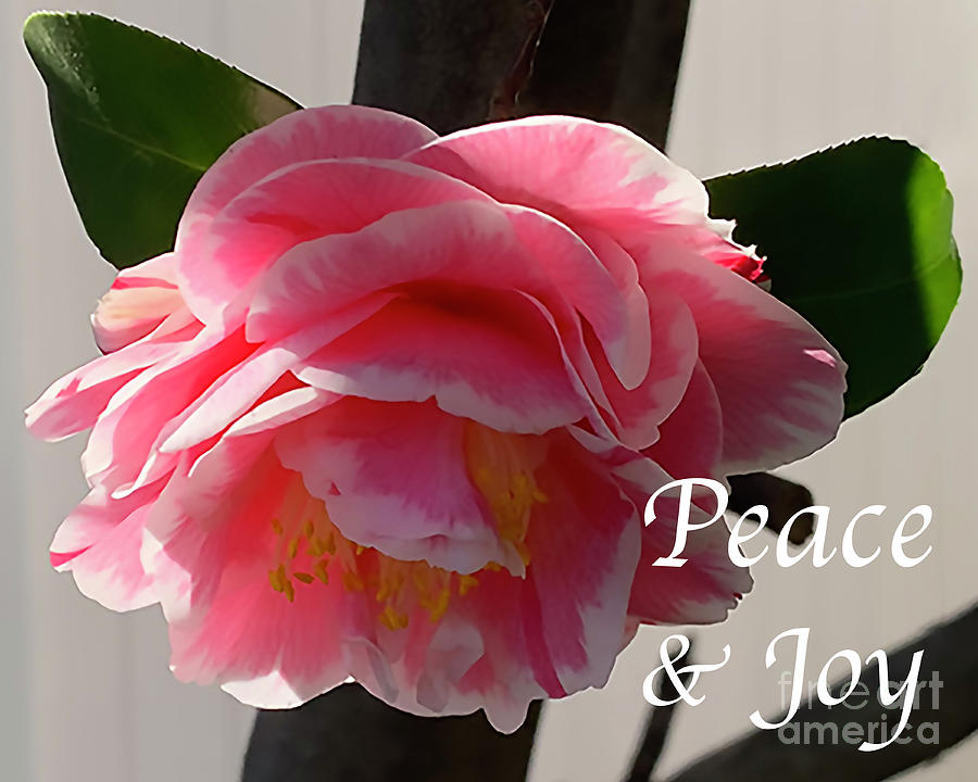 Peace and Joy - Pink And White Camellia Bloom by Kirt Tisdale