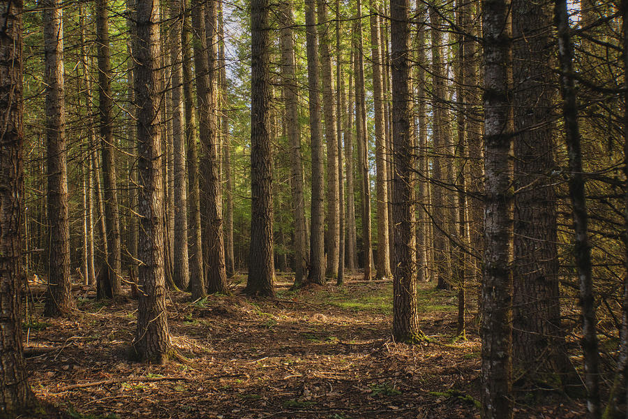Peaceful Forest Photograph