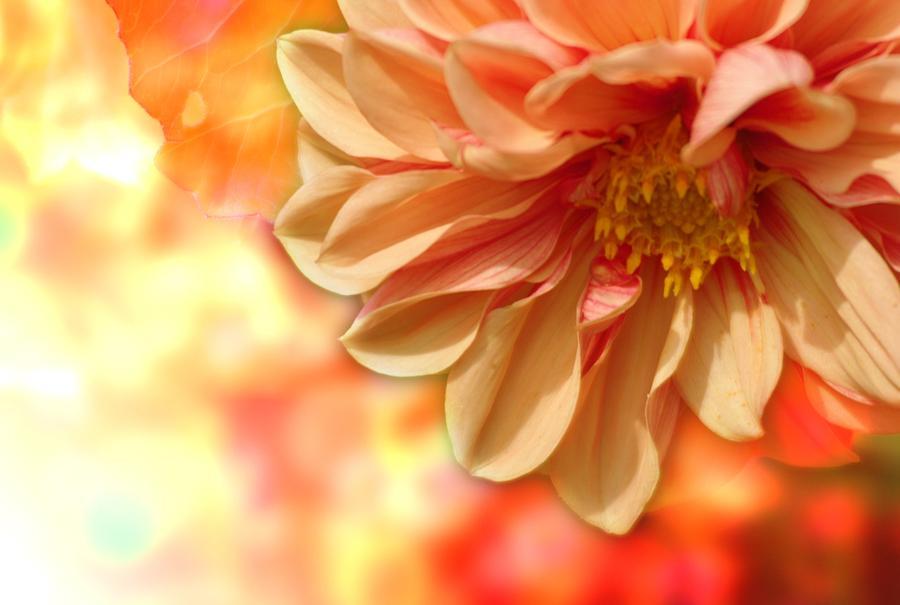 Peach Dahlia by Joy of Life Arts Gallery