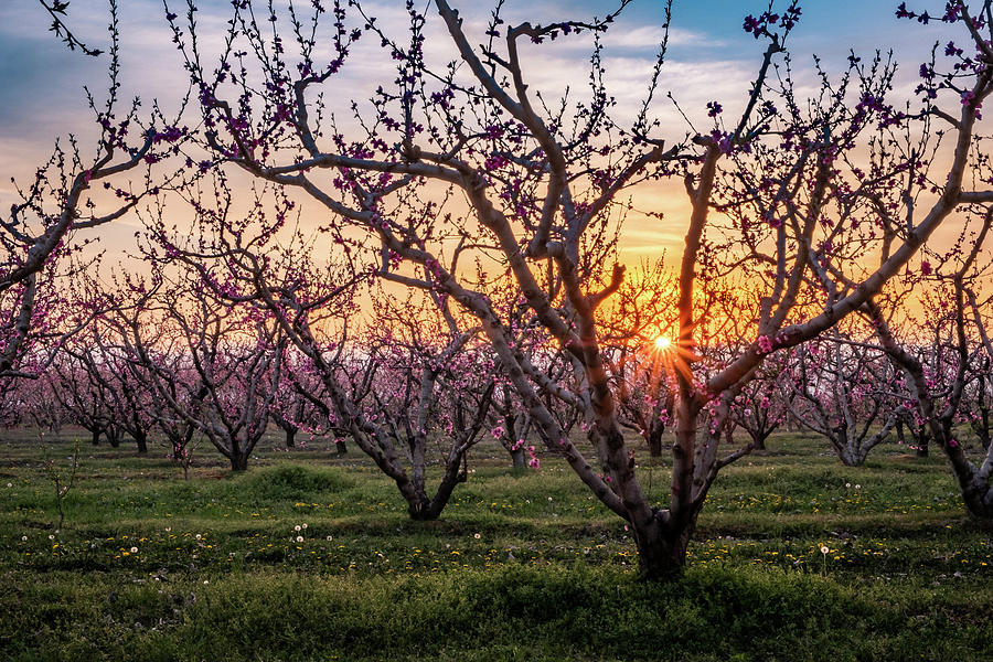 Peach Trees In Blossom At Sunset Photograph