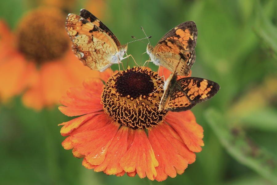 Wildlife Photograph - Pearl Crescent Butterflies on Sunflower by John Burk