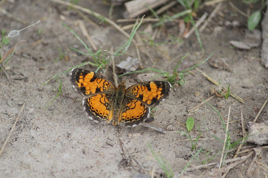 Pearl Crescent Photograph - Pearl Crescent by Callen Harty