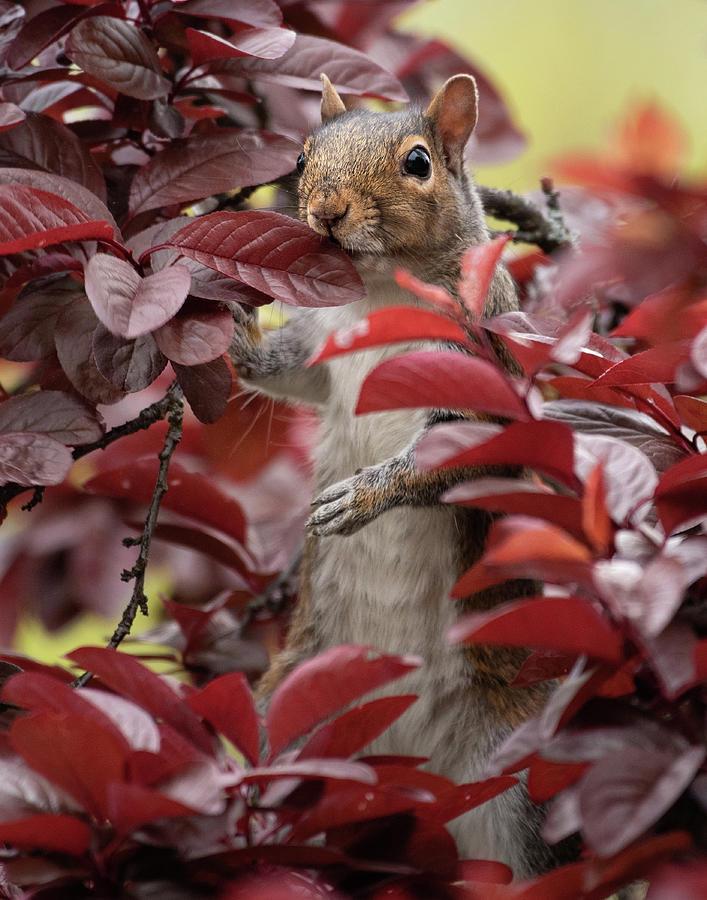 Peek-a-boo Squirrel Photograph