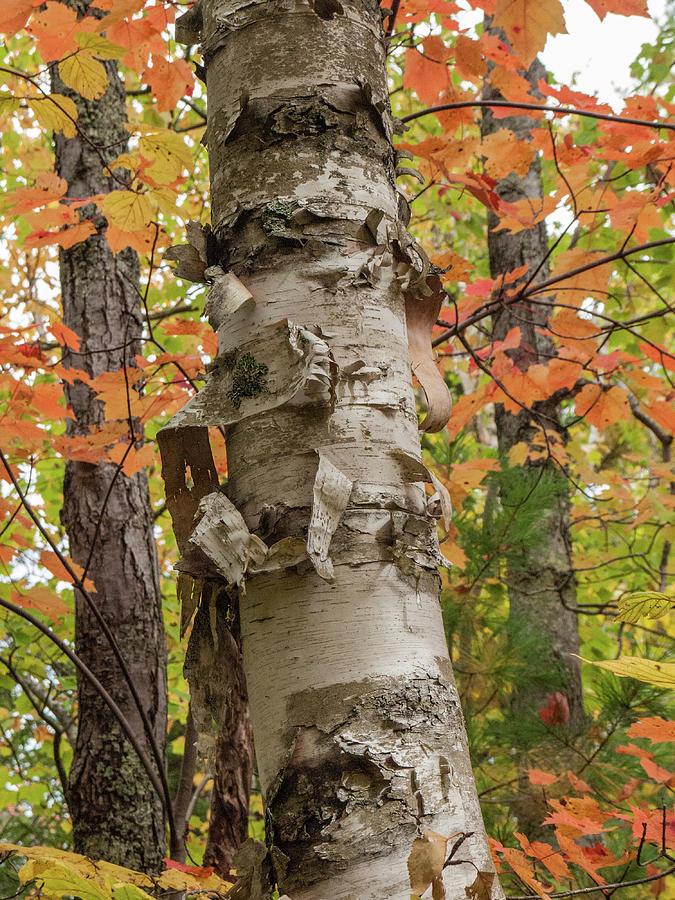Peeling birch bark by Rob Huntley