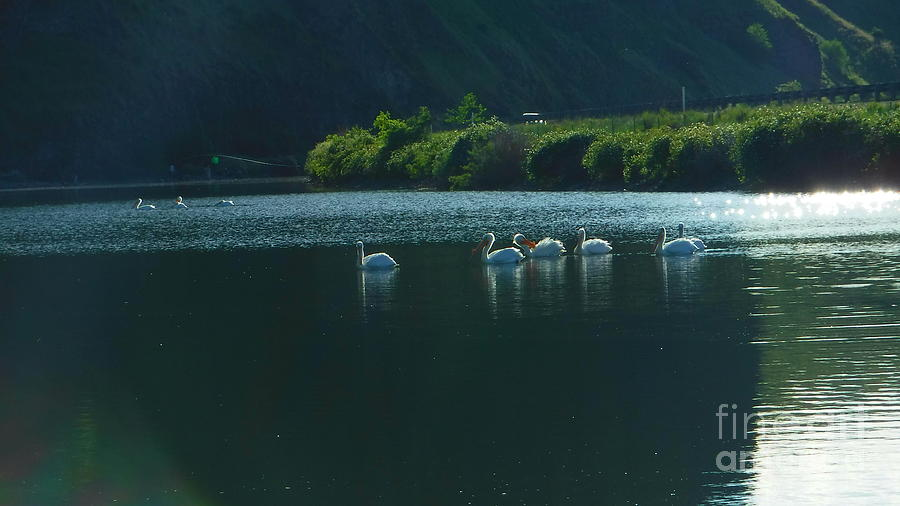 Pelicans Photograph - Pel-a-quinns A laxin by YHWHY Vance