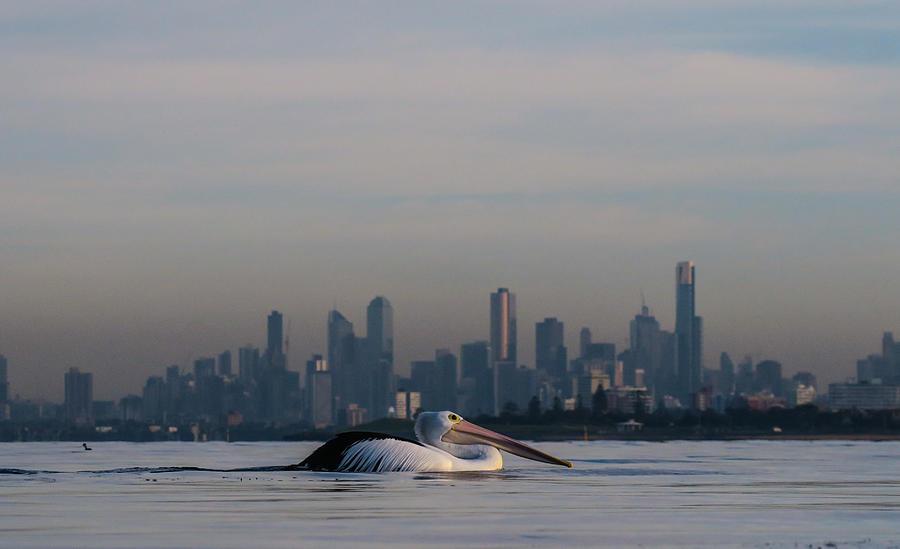 Pelican Photograph - Pelican city by Leigh Henningham