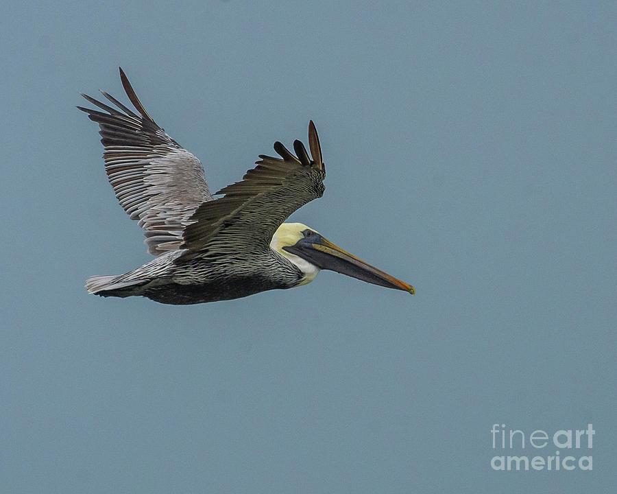 Pelican Flight II Photograph