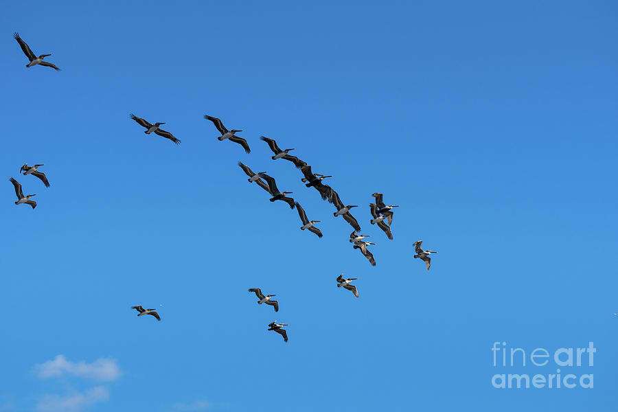 Pelican Flying Formation by Les Palenik