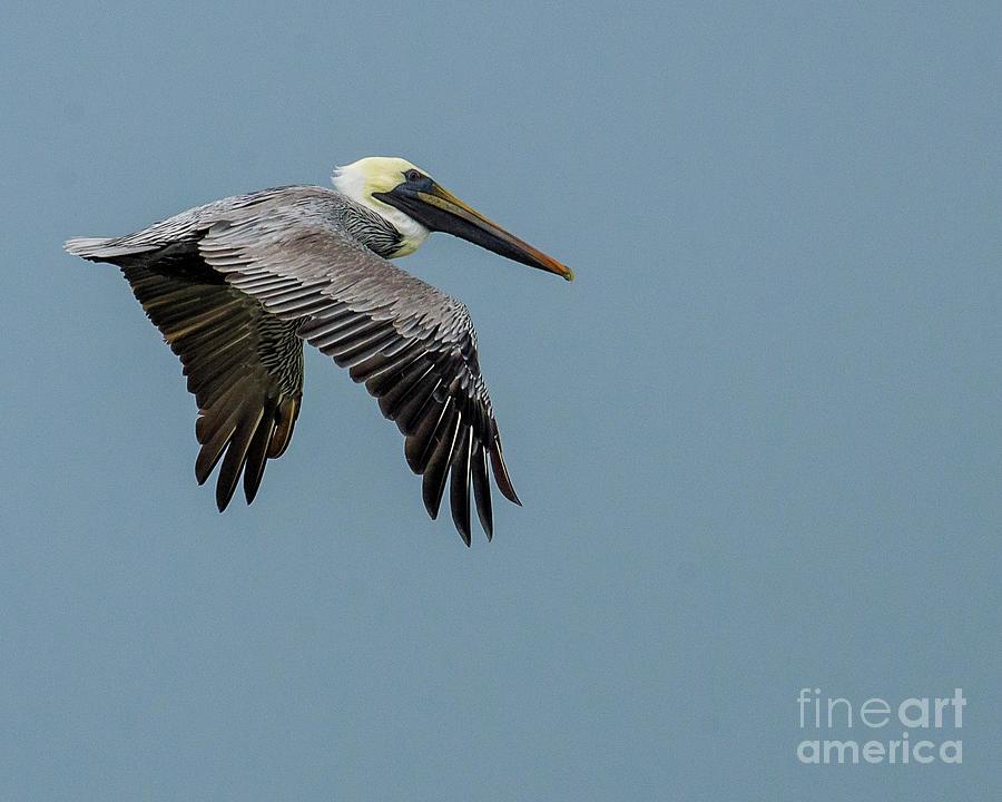 Pelican In Flight Photograph