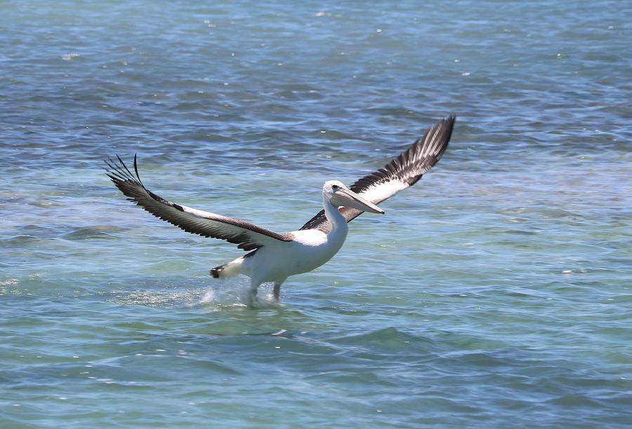 Pelican Lift Photograph